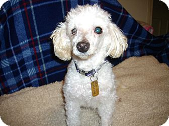 Poodle (Toy or Tea Cup) Mix Dog for Sale in Sheridan, Oregon - Snowball
