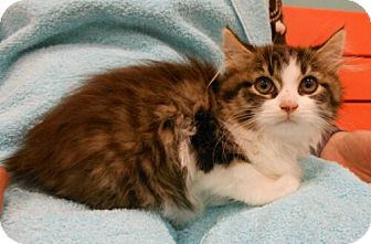 Domestic Mediumhair Kitten for Sale in Sterling, Virginia - Alec