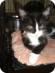 Domestic Shorthair Kitten for Sale in Fairborn, Ohio - Terri & Tommi Tuxedo