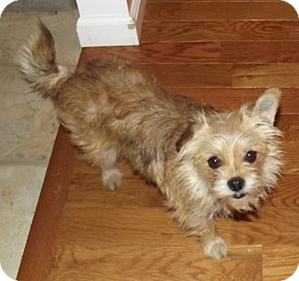 Yorkie, Yorkshire Terrier/Chihuahua Mix Dog for Sale in Morgantown, West Virginia - Pixie