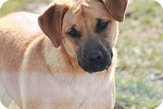 Labrador Retriever/Shepherd (Unknown Type) Mix Dog for Sale in Russellville, Kentucky - Davis