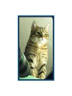 Domestic Shorthair Cat for Sale in Harrisburg, North Carolina - Charlie