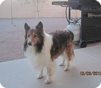 Sheltie, Shetland Sheepdog Dog for Sale in apache junction, Arizona - Shupa