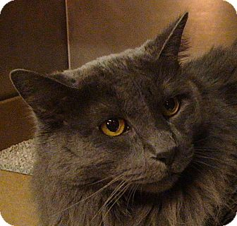 Domestic Longhair Cat for Sale in El Cajon, California - Amelia