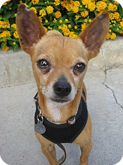 Chihuahua Mix Dog for adption in Van Nuys, California - Buddy
