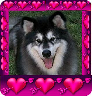 Alaskan Malamute Dog for adption in Creedmoor, North Carolina - Romeo