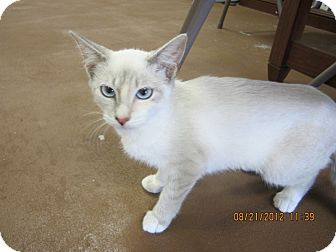 Siamese Kitten for Sale in Bunnell, Florida - Sugar