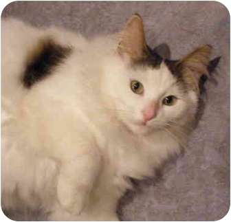 Domestic Mediumhair Cat for adoption in Mississauga, Ontario, Ontario - Firsalar