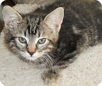 Domestic Shorthair Kitten for Sale in North Highlands, California - Rosa