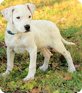American Bulldog/Boxer Mix Puppy for Sale in Washington, D.C. - Darcy