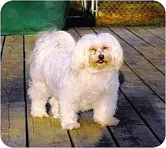 Maltese Dog for adption in Seneca Falls, New York - Sophie