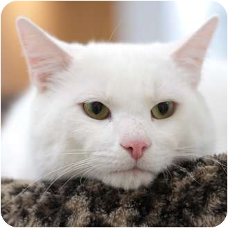 Domestic Shorthair Cat for adoption in Toronto, Ontario - Dustin