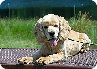 Cocker Spaniel Dog for adption in Spanaway, Washington - Buddy