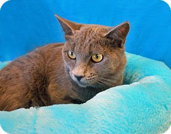Russian Blue Kitten for adoption in Youngtown, Arizona - Blue