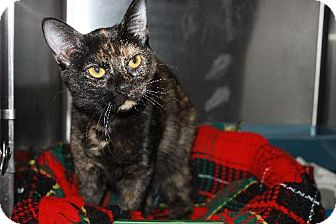 Domestic Shorthair Cat for adoption in Indianapolis, Indiana - Maizy
