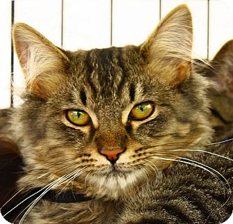 Domestic Shorthair Kitten for adoption in Lombard, Illinois - Chuyahoga