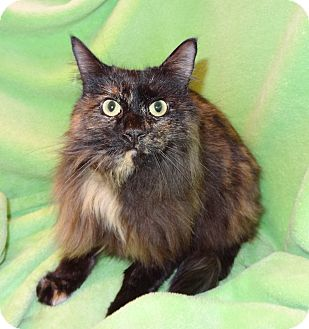 Domestic Longhair Cat for adoption in Bentonville, Arkansas - Tess