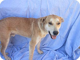 Labrador Retriever Mix Dog for adption in San Diego, California - TYSON