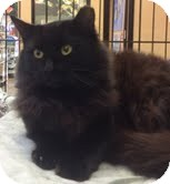 Domestic Mediumhair Cat for Sale in Modesto, California - Katherine