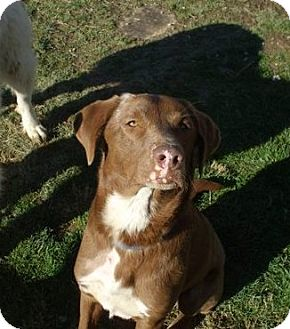 Labrador Retriever/Pointer Mix Dog for Sale in Carey, Ohio - HAUSE