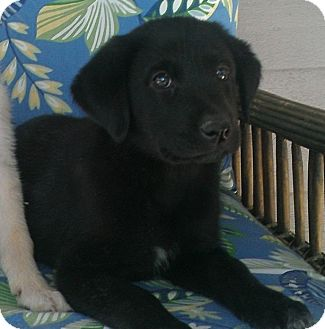 Labrador Retriever Mix Puppy for Sale in Oldsmar, Florida - TINA