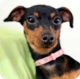 Miniature Pinscher Mix Dog for Sale in Kettering, Ohio - Dasher