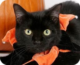 Domestic Mediumhair Cat for adoption in Richardson, Texas - Paco-9779