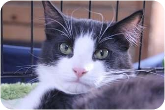 Domestic Shorthair Cat for adoption in La Canada Flintridge, California - Tuxford