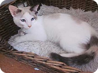 Siamese Kitten for Sale in Vacaville, California - Alexi