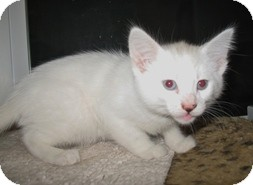 Domestic Shorthair Kitten for Sale in Shelton, Washington - Antonette