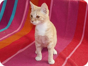 Domestic Shorthair Kitten for Sale in Scottsdale, Arizona - Mr. Ginger