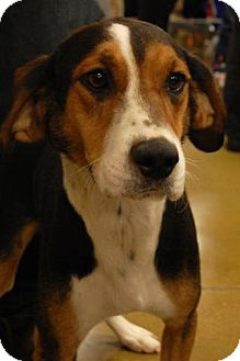 Hound (Unknown Type)/Beagle Mix Dog for adption in London, Kentucky - Rambo
