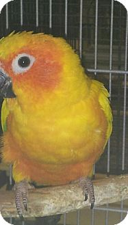 Conure for Sale in Punta Gorda, Florida - Mango