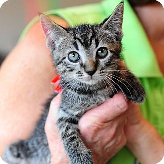 Domestic Shorthair Cat for adoption in Ft. Lauderdale, Florida - Benji