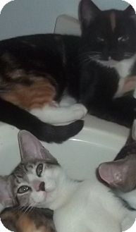 Domestic Shorthair Cat for Sale in Glen cove, New York - BROTHER N SISTER
