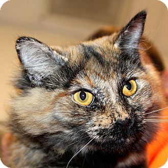 Domestic Mediumhair Cat for Sale in Greenville, South Carolina - Chloe