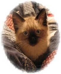 Ragdoll Kitten for Sale in Ennis, Texas - Ezekiel