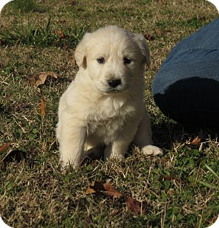 Great Pyrenees/Golden Retriever Mix Puppy for Sale in Glastonbury, Connecticut - Donner~adopted~