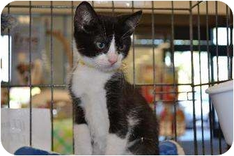 Domestic Shorthair Cat for adoption in Chino, California - Tux