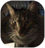 Domestic Mediumhair Cat for adoption in New York, New York - Tabby Toes