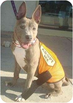 Bull Terrier Mix Puppy for Sale in East Rockaway, New York - Donkey