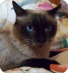 Ragdoll Cat for Sale in Ennis, Texas - Sai