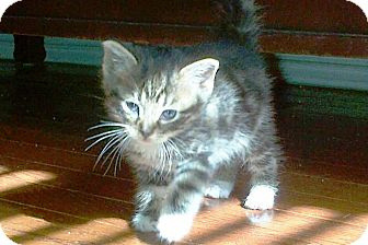 Domestic Shorthair Kitten for Sale in Oceanside, New York - Darky, Boots & Crier
