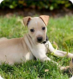 Labrador Retriever/Terrier (Unknown Type, Medium) Mix Dog for Sale in Houston, Texas - Stuart
