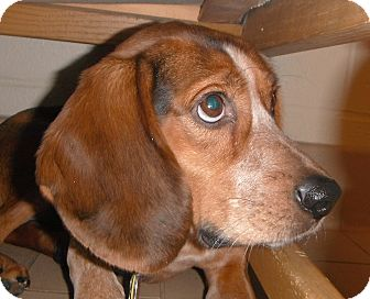 Beagle Mix Dog for Sale in Jackson, Michigan - Granola