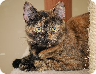 Calico Kitten for Sale in Bensalem, Pennsylvania - Taz (tazmaraz)