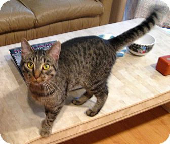 Abyssinian Cat for Sale in Troy, Michigan - Levi