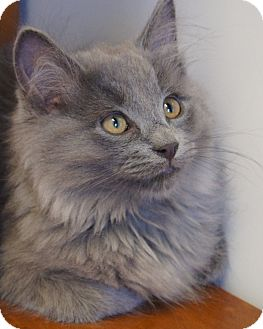 Maine Coon Kitten for Sale in Colorado Springs, Colorado - Jethro