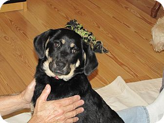 German Shepherd Dog Mix Puppy for Sale in Oakland, Arkansas - Farrah