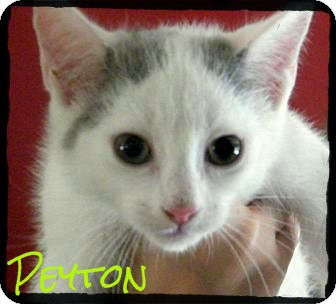Domestic Shorthair Kitten for adoption in cumberland, Rhode Island - Peyton